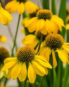 Yellow echinacea flowers in full bloom Stock Photos