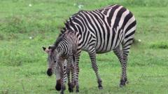 ZEBRAS GRAZING AFRICAN GRASSLANDS Stock Footage