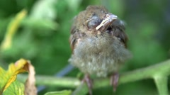 Cardinal baby bird Stock Footage