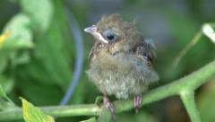 Cardinal baby bird Stock Footage
