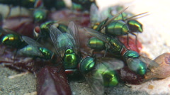 Green-bottle flies on rotten meat closeup Stock Footage