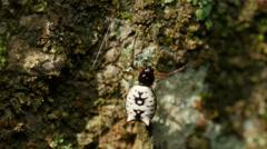 4K White Micrathena (Micrathena mitrata) Spider 3 Stock Footage