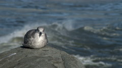 Gull on rock with crashing waves, 4K, UHD Stock Footage