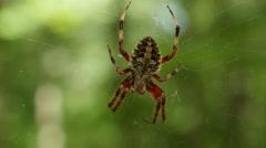 Orbweaver (Neoscona crucifera) Spider 2 Stock Footage