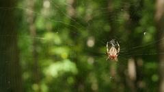 Orbweaver (Neoscona crucifera) Spider 4 Stock Footage
