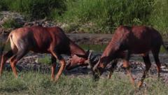 TOPIS LOCK HORNS AFRICAN WILDLIFE SAFARI Stock Footage