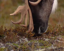 Reindeer (Rangifer tarandus) bull grazes on lichen, reindeer moss - close up Stock Footage