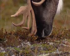 Reindeer (Rangifer tarandus) bull grazes on lichen, reindeer moss - close up Stock Footage