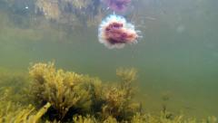 Small lion's mane jellyfish and brown algae Stock Footage
