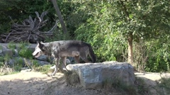 4k Eastern Timber Wolves pack in sunny hills landscape Stock Footage