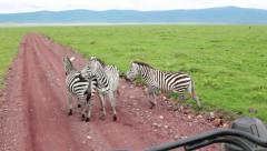 ZEBRAS GRAZING AFRICAN GRASSLANDS TOURISTS SAFARI GAME DRIVE Stock Footage