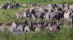 ZEBRAS GRAZING AFRICAN GRASSLANDS DRINKING WATERHOLE Stock Footage
