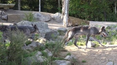 4k Eastern Timber Wolves exploring terrain in rocky hills landscape Stock Footage