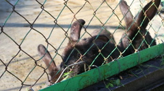 Black rabbits eating grass in an enclosure. Stock Footage