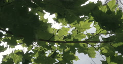 The branch of the maple tree with green leaves Stock Footage