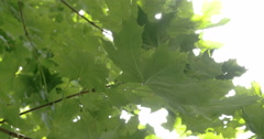 Closer look of the big green maple leaf Stock Footage