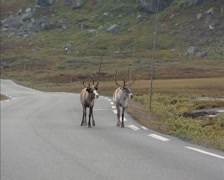 Reindeer (Rangifer tarandus) across road in Jotunheimen National Park, Norway Stock Footage