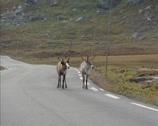 Stock Video Footage of Reindeer (Rangifer tarandus) across road in Jotunheimen National Park, Norway