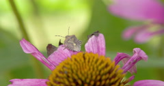 A bug on top of the purple cornflower plant Stock Footage