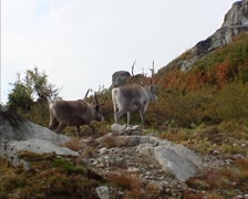 Reindeer (Rangifer tarandus) moving across mountain slope and disappear Stock Footage