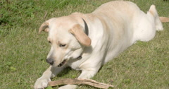 A labrador retriever dog playing with its tounge Stock Footage