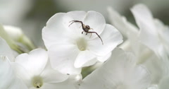 A black crab spider on the flower Stock Footage
