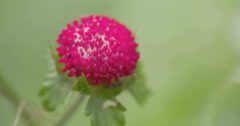 The red colored wild strawberry Stock Footage