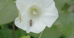 A bug inside the flower of field bindweed plant Stock Footage