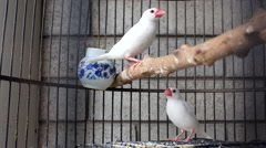 "A couple of pet birds ""White Zebra Finch"" stand in a cage Stock Footage"