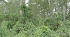 Lots of field bindweed vines on the forest Stock Footage