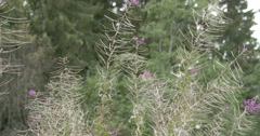 lots of great willowherb plant in the meadow - stock footage