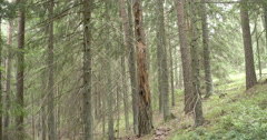 A spruce of blueberry in the middle of the forest Stock Footage