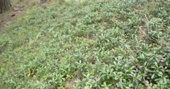 Shrubs of blueberry on the ground in the forest Stock Footage