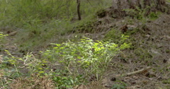 Closer look of the blueberry plant or vaccinium corymbosum Stock Footage