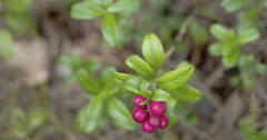 Closer look of the cowberry plant fruit Stock Footage