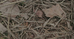 A black ant crawling on the withered plants Stock Footage