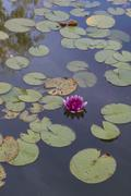 Waterlily Stock Photos