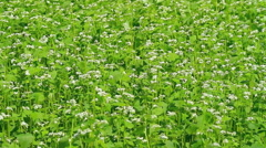 Field of buckwheat in the wind. - stock footage
