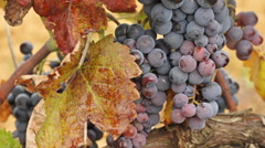Red wine grapes in a vineyard Stock Footage
