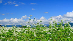 Field of buckwheat blossoms. Stock Footage