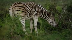 4K+ R3D - Burchells Zebra - Grazing on bush at sunrise. Nature animal africa Stock Footage