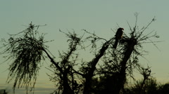 4K+ R3D - Southern Yellow-billed Hornbill - backlit on branch at dawn. Bird Stock Footage
