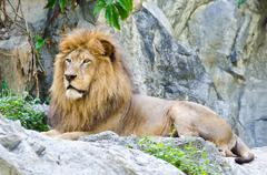 Stock Photo of male lion