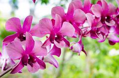 orchid (phalaenopsis ) - stock photo