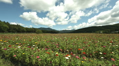 flower field wide angle japan, color graded Full HD (1920x1080) - stock footage