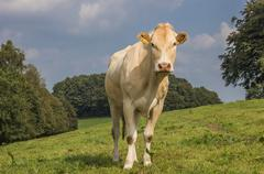 French cow blonde d aquitaine in a dutch landscape Stock Photos