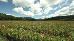 Flower field wide angle japan, color graded 4K (3840x2160) Stock Footage