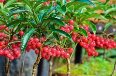 Ardisia crenata ( myrsinaceae ) Stock Photos