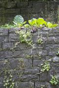 Vegetated natural stone wall Stock Photos