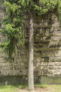 Conifer on a meadow in front of a sand stone wall Stock Photos